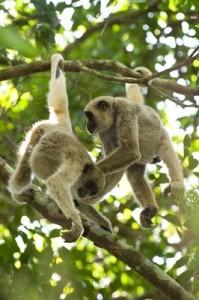 Macacos Muriqui-do-Sul
